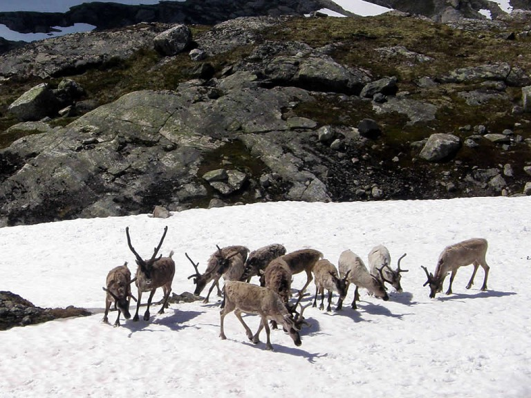 Reindeers in Dalsnibba - Photo: © C.J. Langfeldt